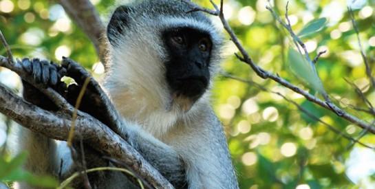 À la découverte de Soko, le ``village ivoirien des singes``