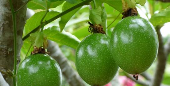 Les feuilles du fruit de la passion pour le traitement de l'hypertension artérielle