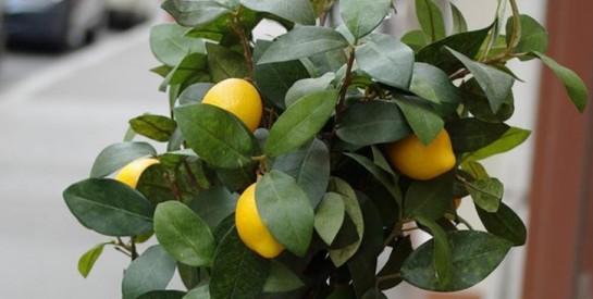 Infusion à l'orange et aux feuilles de citron pour favoriser le sommeil