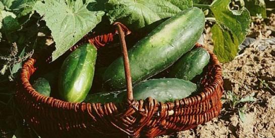 Les bienfaits du concombre sur la santé